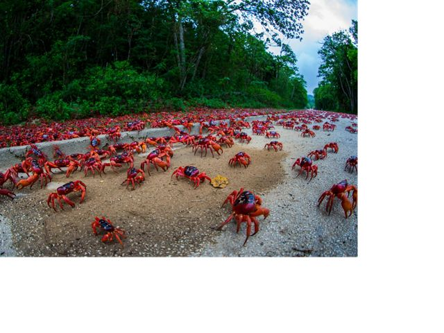 The annual migration of millions of these land crabs to the sea to spawn is one of the world's great wildlife spectacles