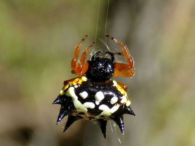 also know as the Jewel Spider