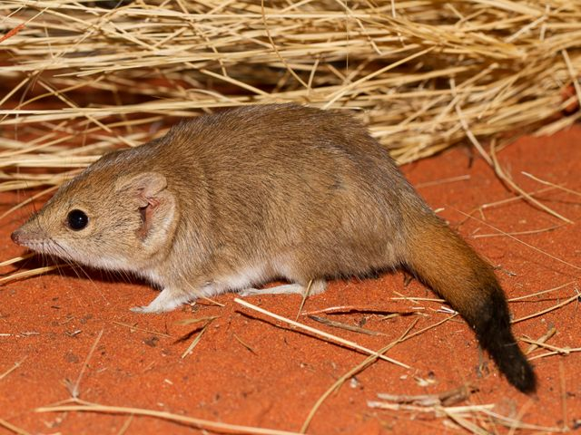 Closely related to the Tasmanian Devil and quolls