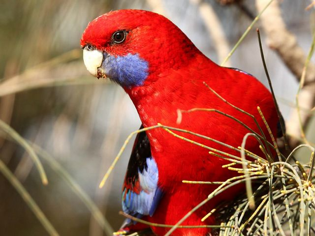 closeup of a bright red bird
