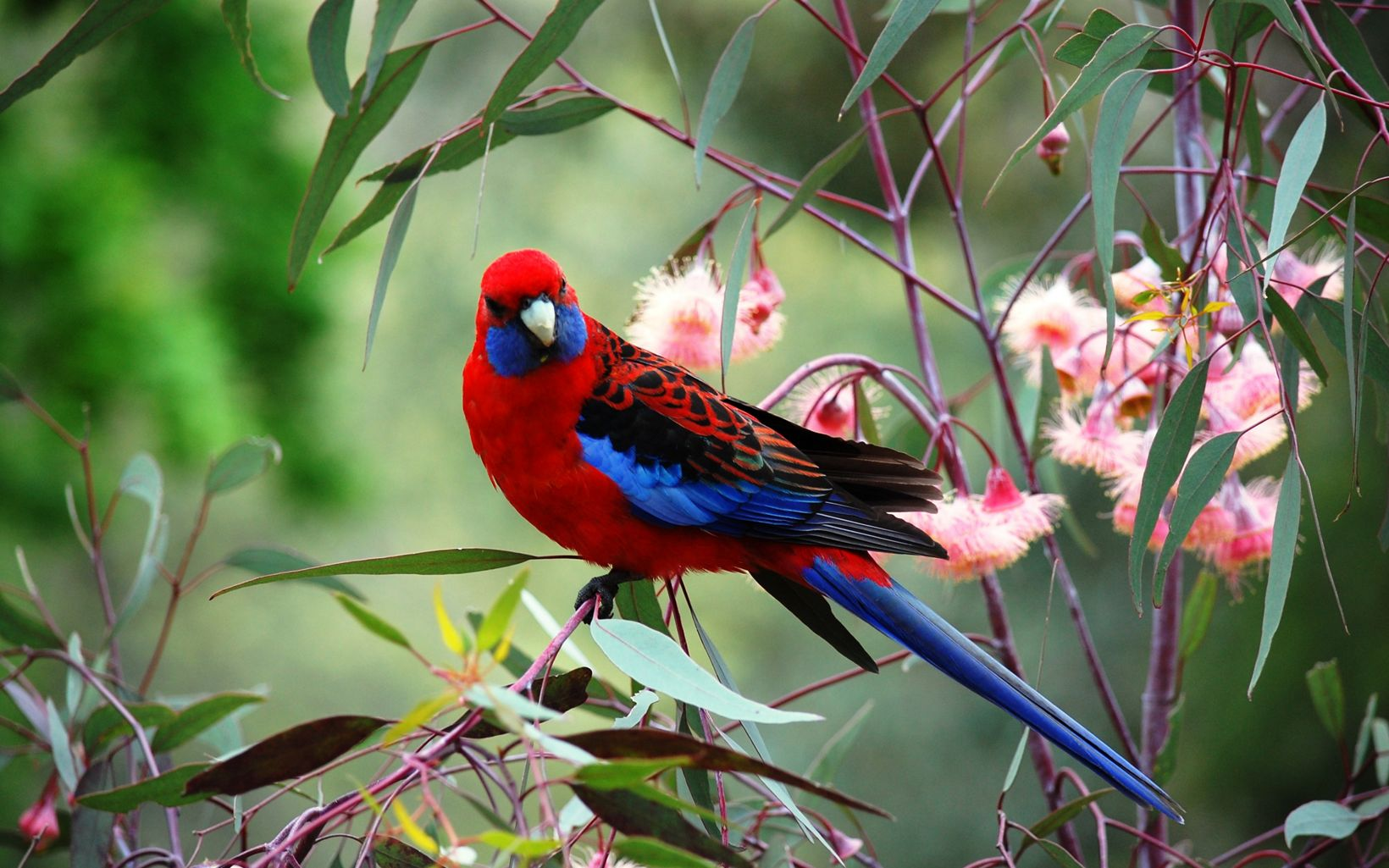 Crimson Rosella, a blue-and-red bird native to Melbourne