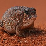 Desert Spadefoot Toad found in the Tanami Desert, NT