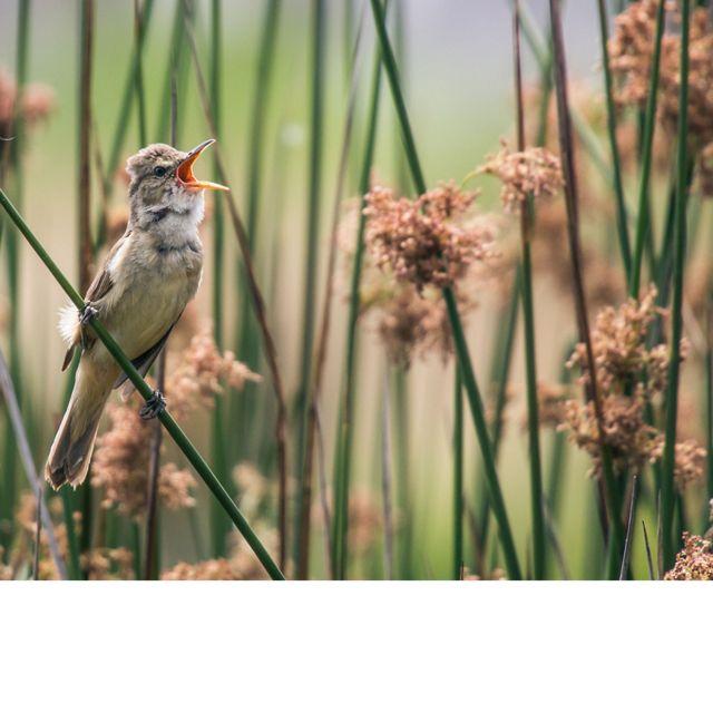 Eastern Australian Reed Warbler