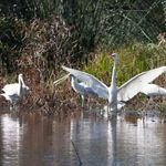 Eastern Great Egret and Yellow-billed Spoonbills at Yambuna Lagoon