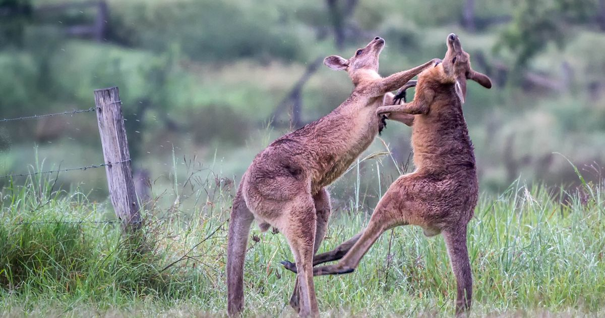Two Eastern Grey Kangaroos (Macropus giganteus) do battle with powerful hind leg kicks and arm wrestling at Amberley, Queensland, Australia