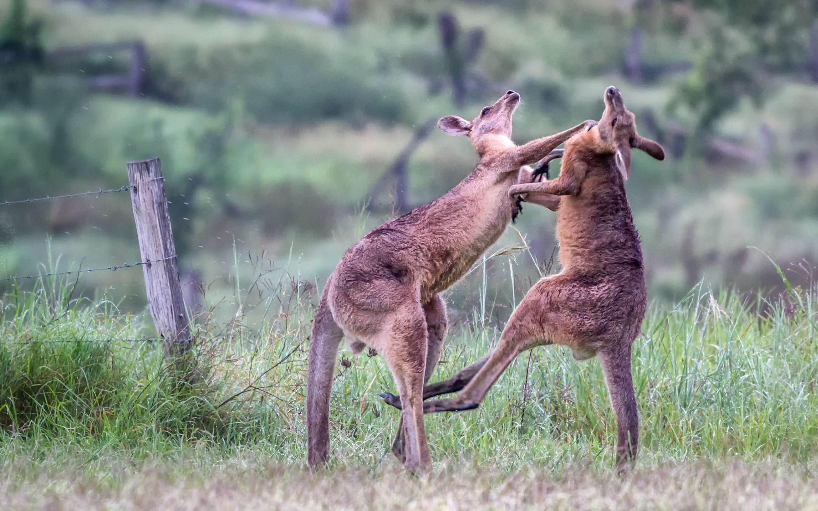 Two Eastern Grey Kangaroos (Macropus giganteus) do battle with powerful hind leg kicks and arm wrestling at Amberley, Queensland, Australia