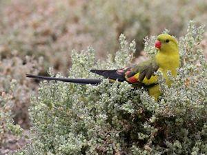 Eastern Regent Parrot