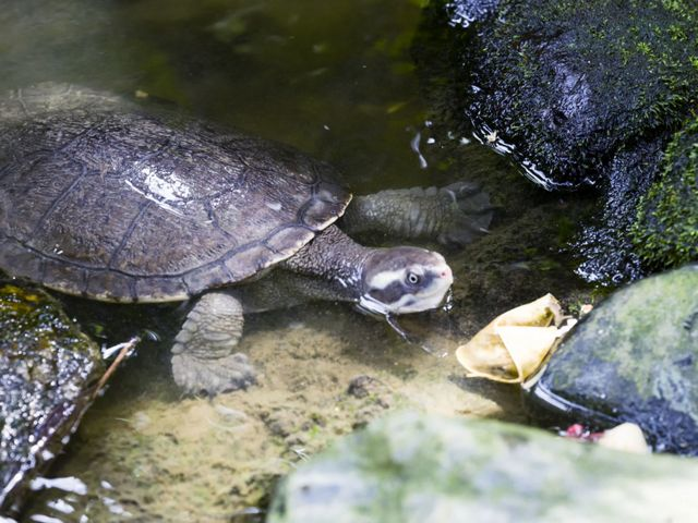 This freshwater turtle is well known for its ability to breathe through its bum.