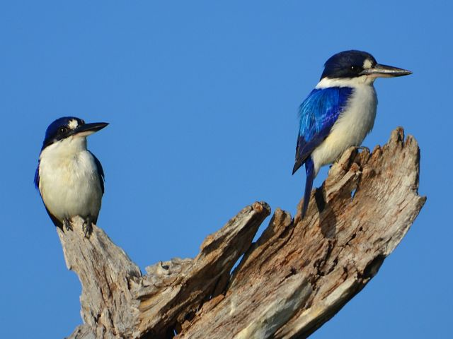 also known as tree kingfishers.