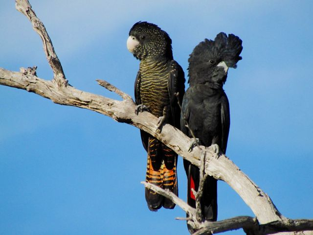are large black cockatoos that are native to Australia.