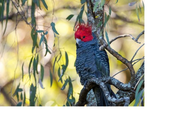 Only the male has a bright red face and crest.