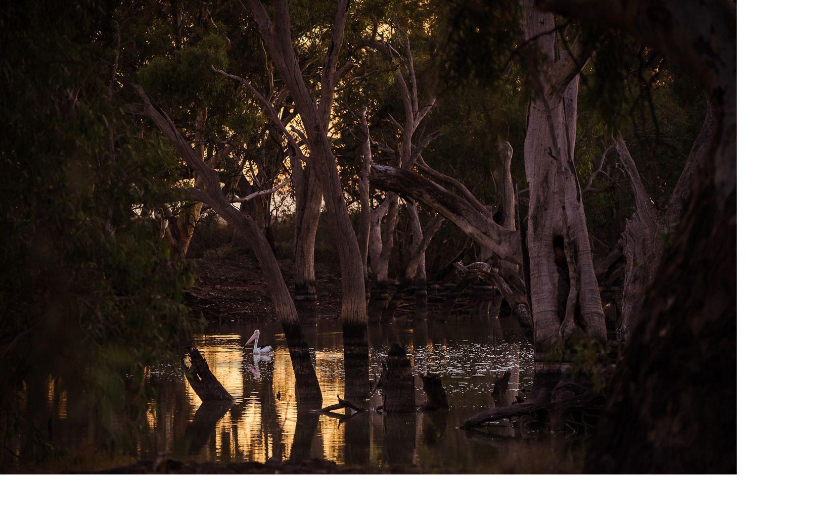 Australian Pelican and sacred canoe scar tree