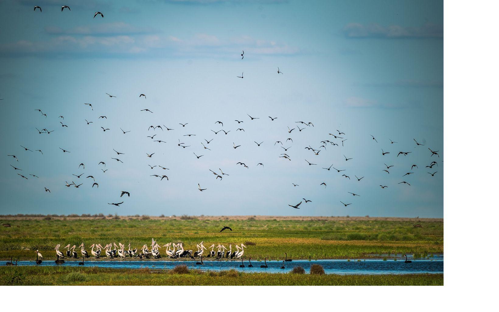 Pacific Black Ducks, Great Cormorants, Black Swans and Australian Pelicans