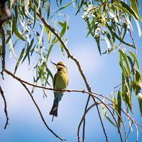 Rainbow Bee-eater at Gayini