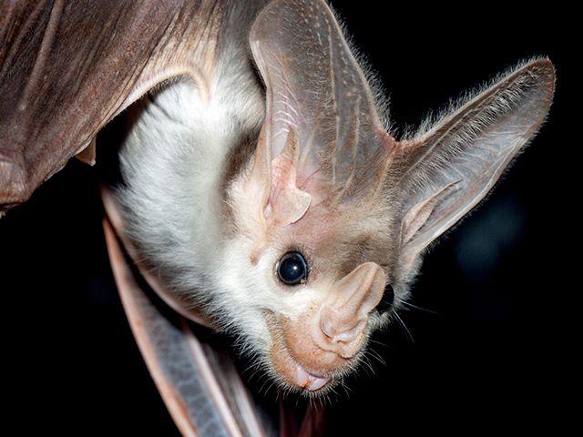 is Australia's largest carnivorous bat.