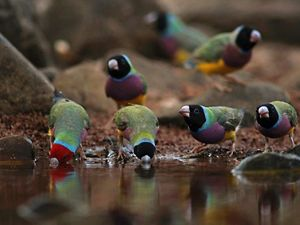 Gouldian Finches at a waterhole