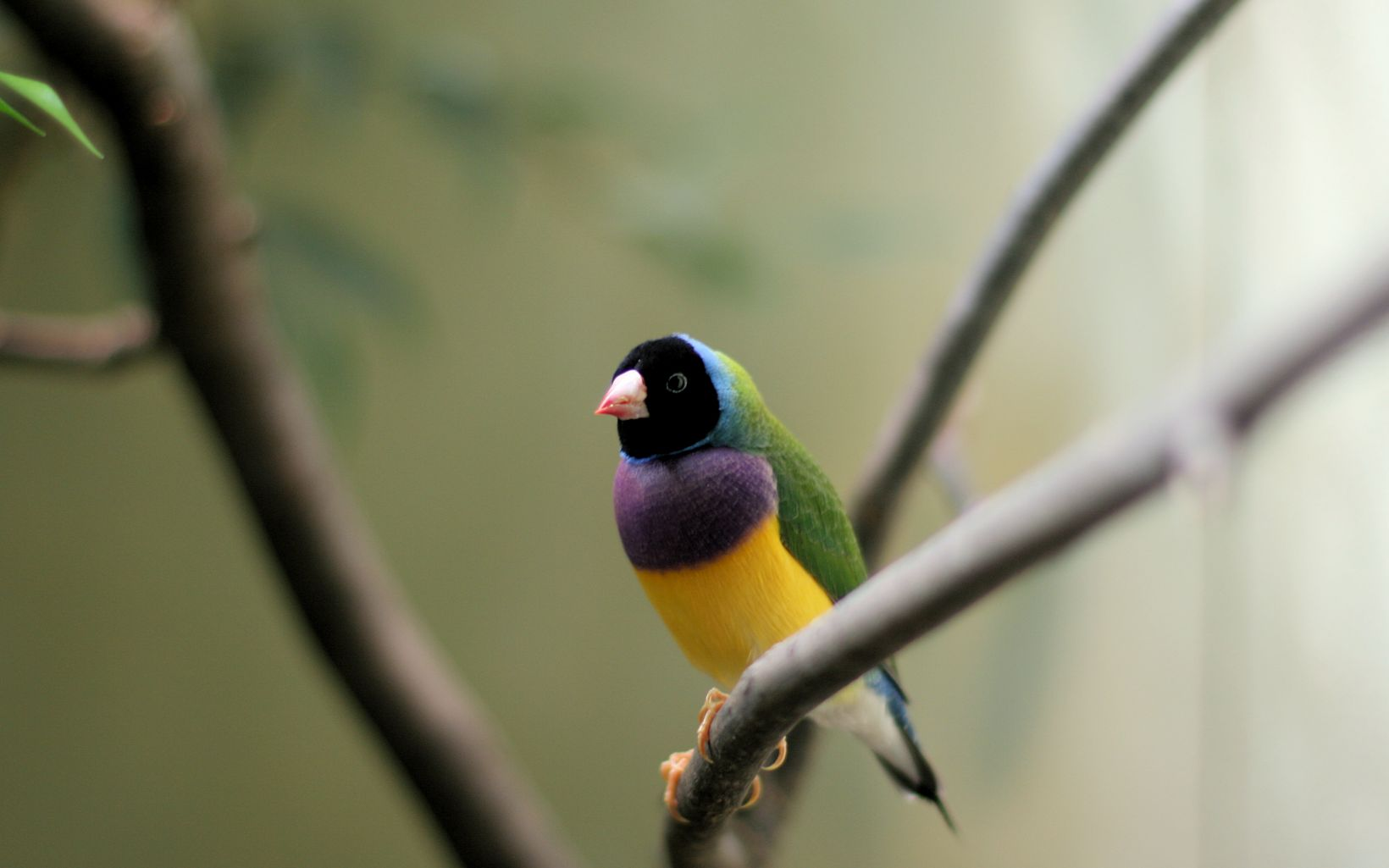 or the Rainbow Finch, is a colourful passerine bird native to Australia.