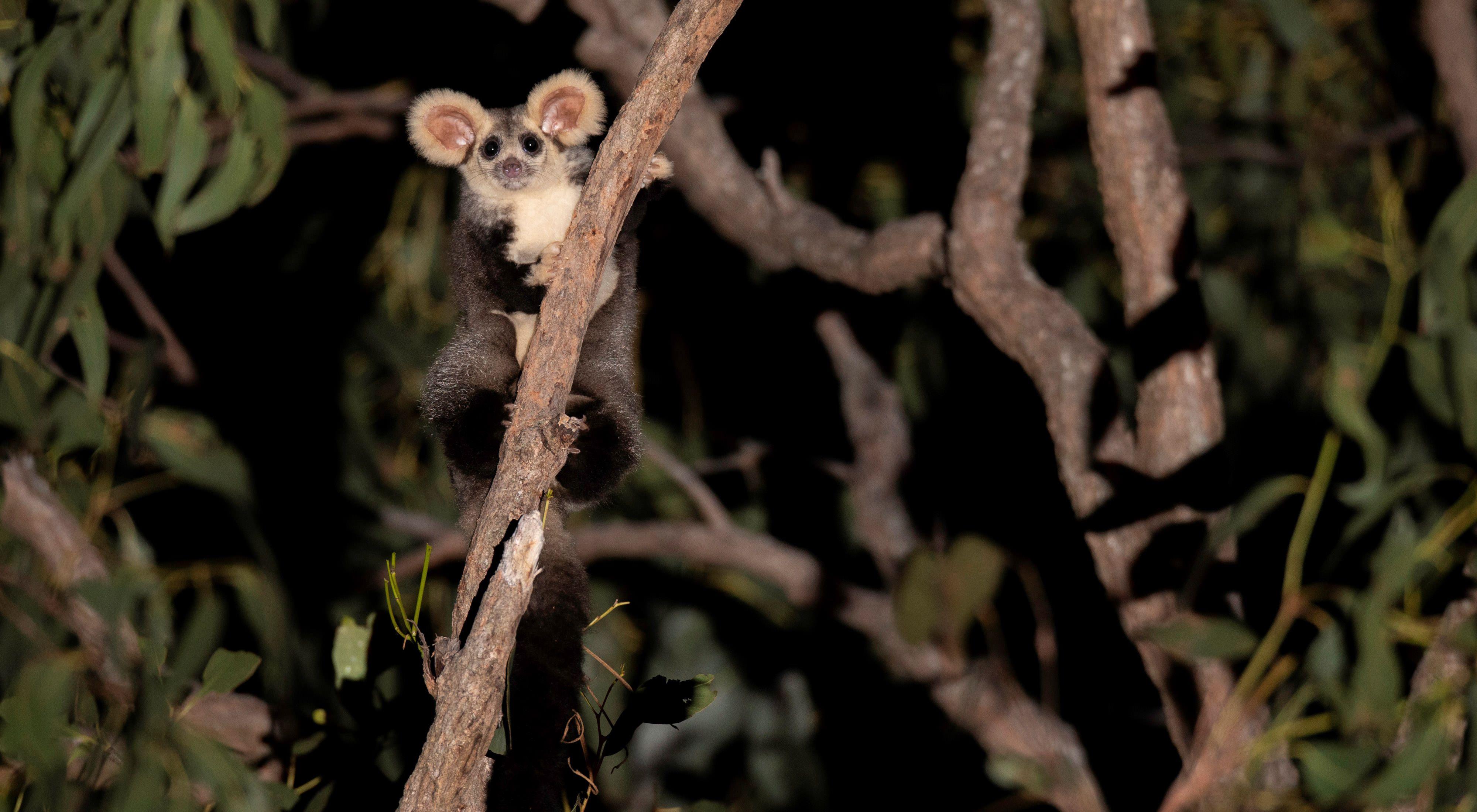 during Australia's 2019/2020 mega bushfires alone 30% of their habitat was destroyed