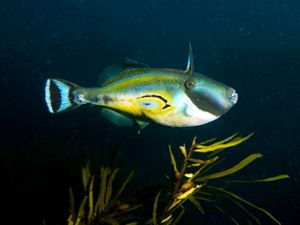 Horseshore Leatherjacket