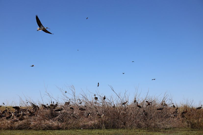 Dozens of straw-necked ibis in flight and on the ground at Gayini.