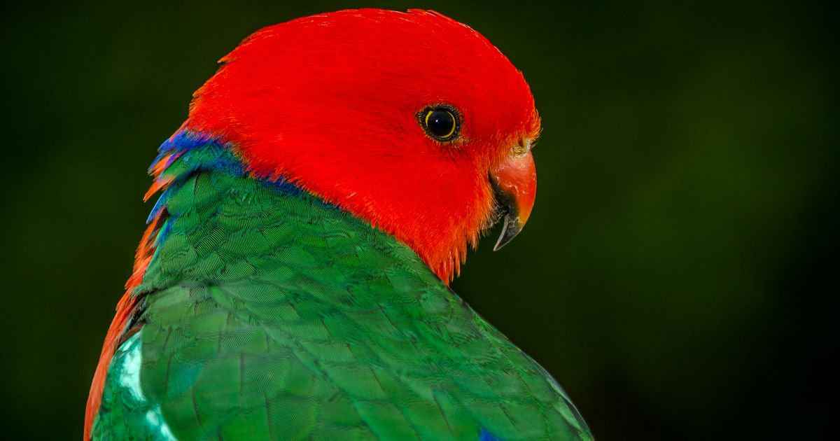 King Parrot (male)