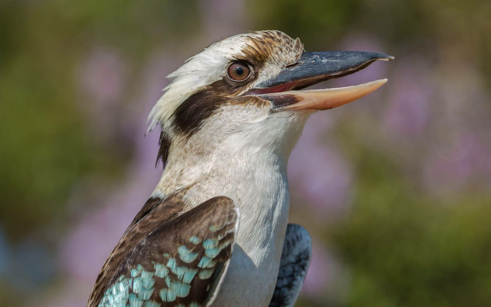 Kookaburras are terrestrial tree kingfishers