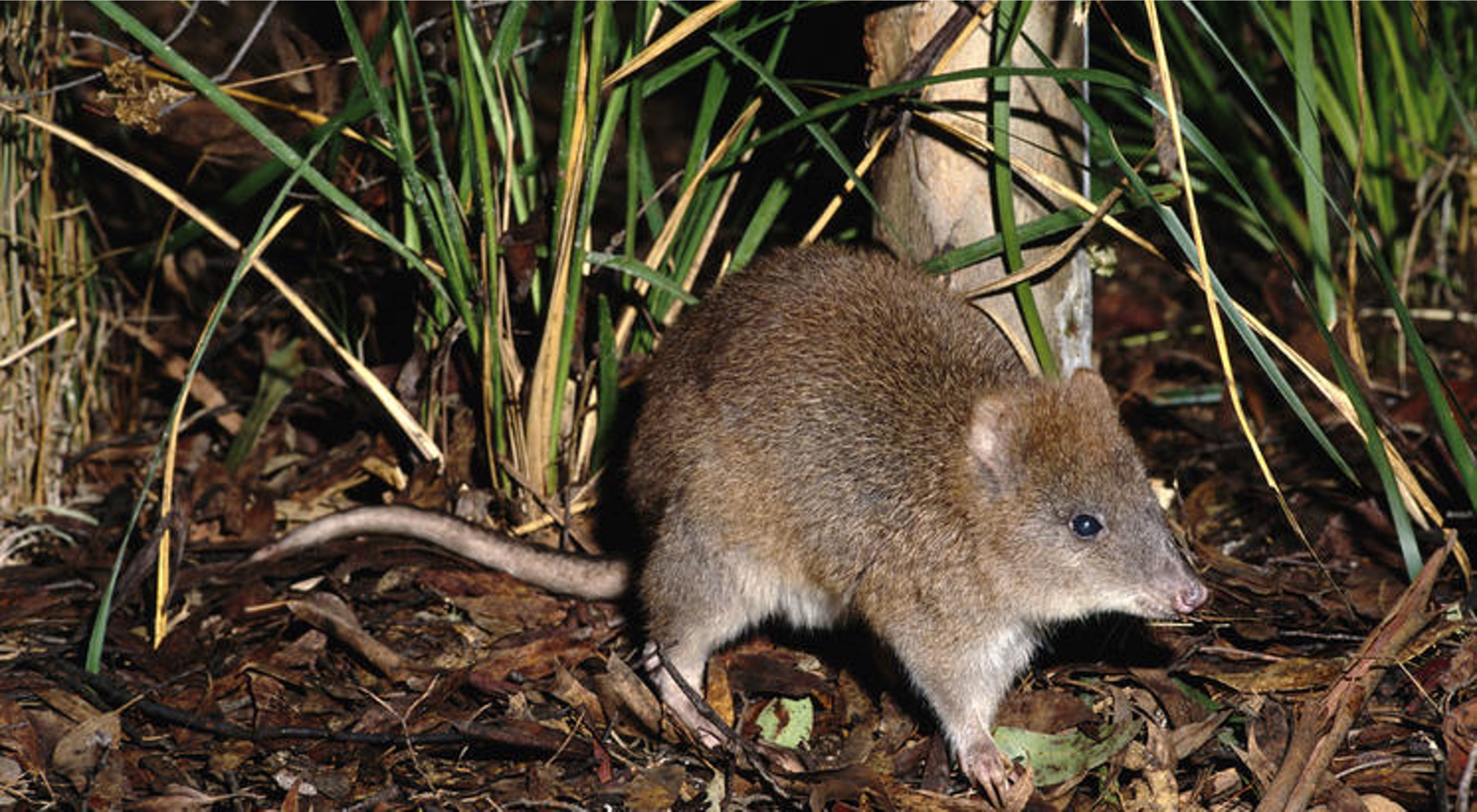 is Critically Endangered. They have a small range in Victoria's Gippsland region and southern NSW.