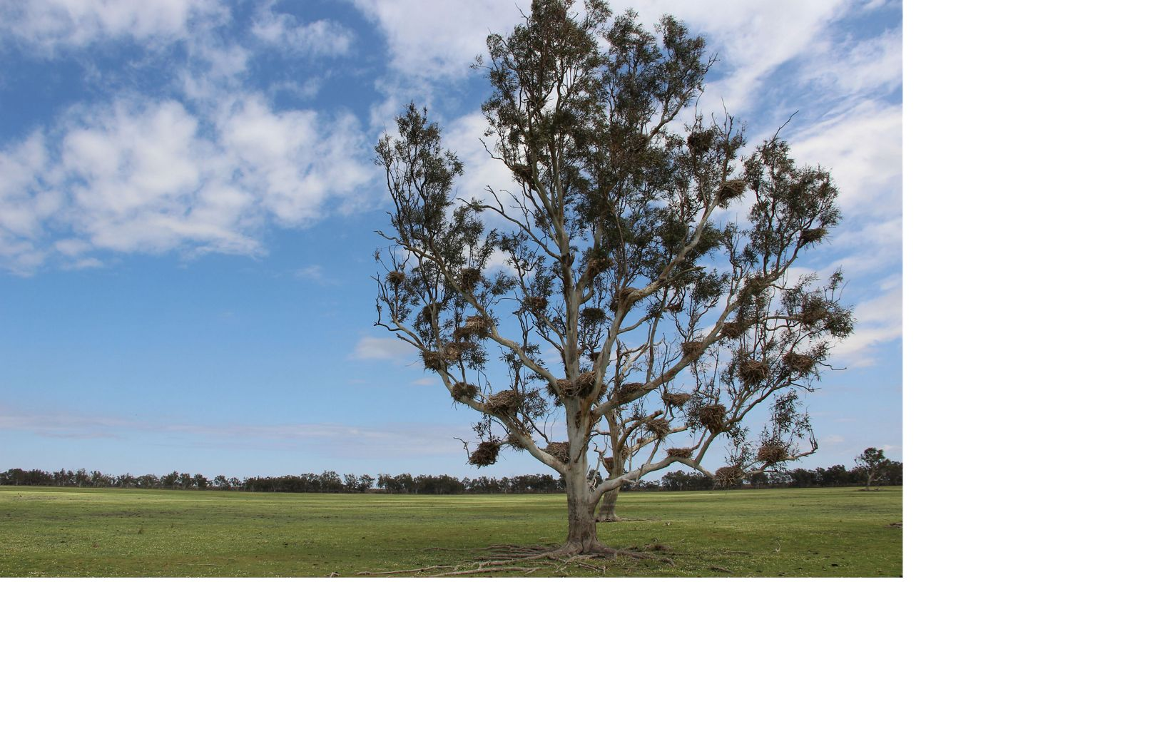a River Red Gum tree crowded with cormorant nests from a previous flooding event stands in the dry lake bed