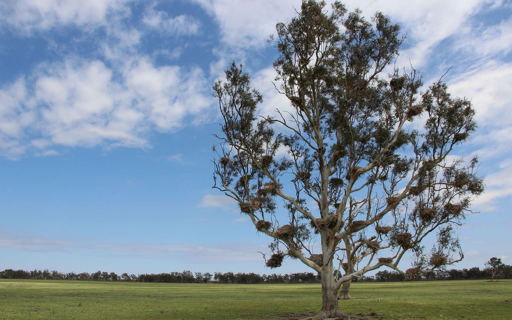 A River Red Gum, crowded with cormorant nests from a previous flooding event, stands in the dry lake bed