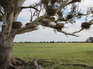 Waterbird nests crowd the branches of a River Red Gum