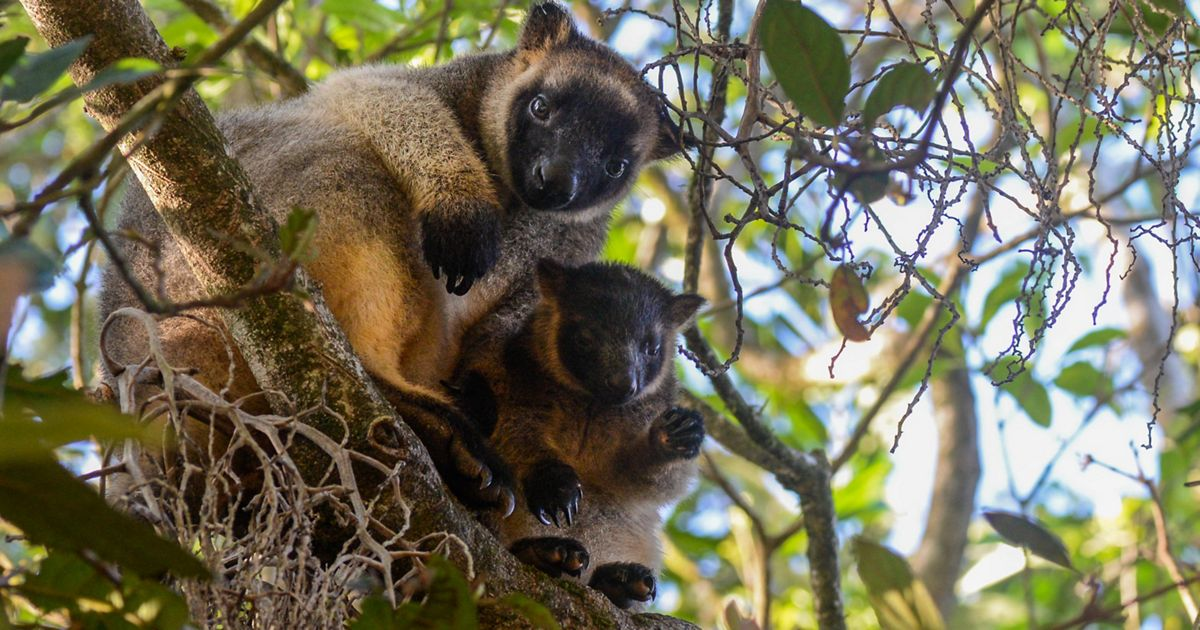 Evolved from regular, ground dwelling kangaroos, there are a dozen different species of tree-kangaroos found mostly in New Guinea.