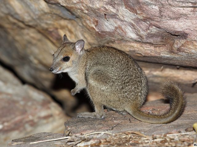 Also referred to as Burbidge's Rock-wallaby. They're one of Australia's smallest rock wallabies. Only found in a small area of the Kimberley region and nearby islands.