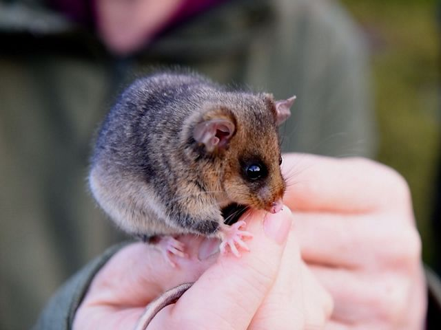 A mountain pygmy possum sits on a person's hands.
