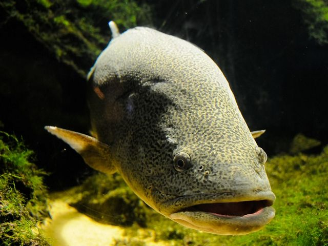 is a Critically Endangered species and Australia's largest exclusively freshwater fish