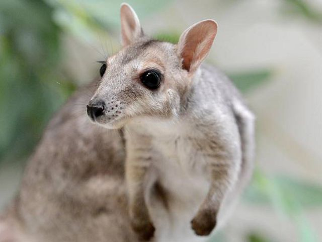 at Perth Zoo was rescued by a wildlife carer in Broome after his mother was killed by a vehicle. He is the only Nabarlek in any zoo anywhere in the world.