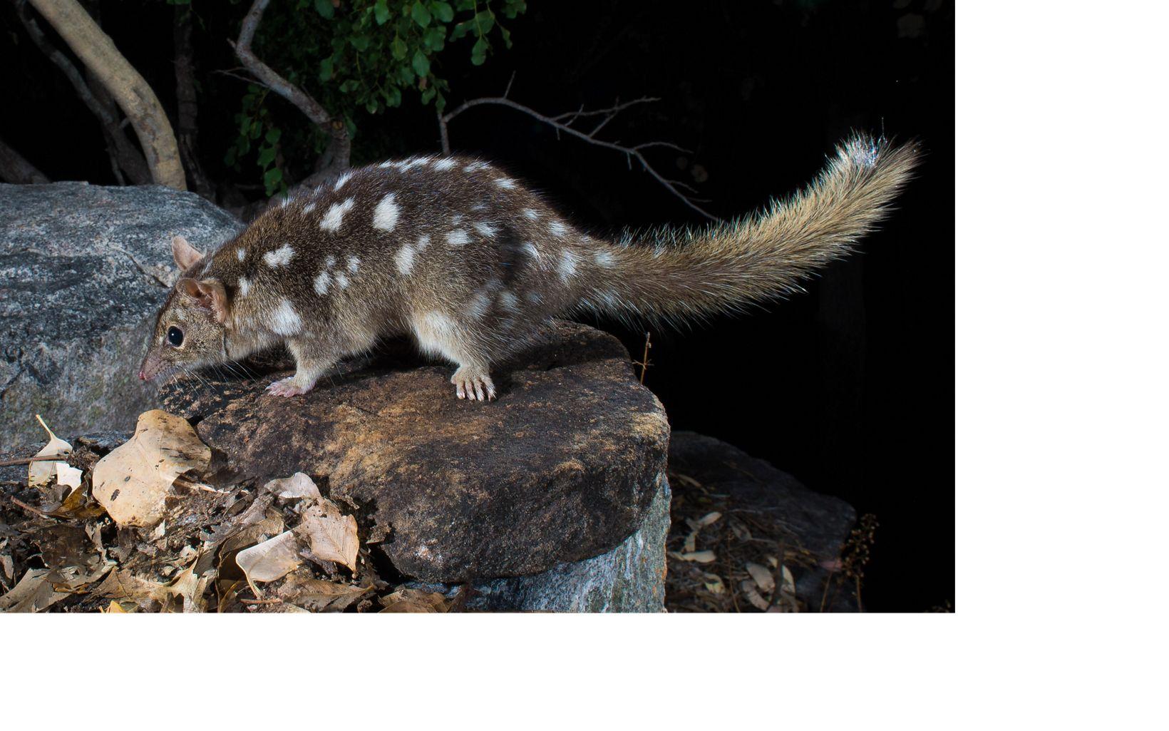(Dasyurus hallucatus)  Prince Regent River, WA  Australia