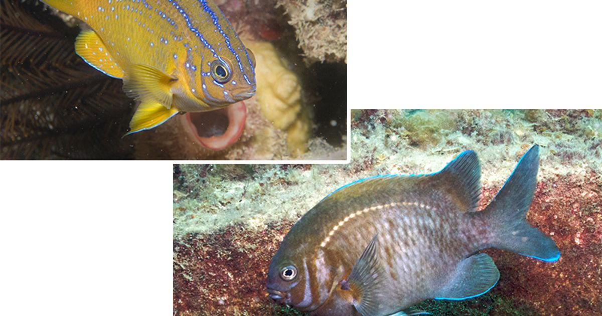 Compare the colours of the scalyfins at different stages of their life