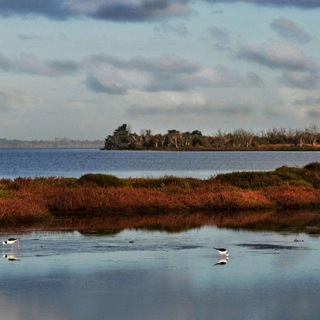 Black-winged Stilts in Peel-Harvey Estuary