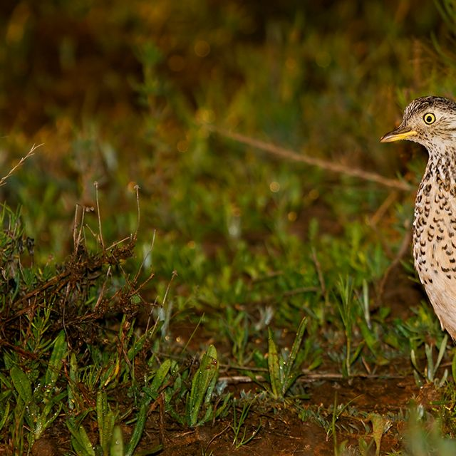 Plains-wanderer by Patrick Kavanagh, Wikimedia Commons