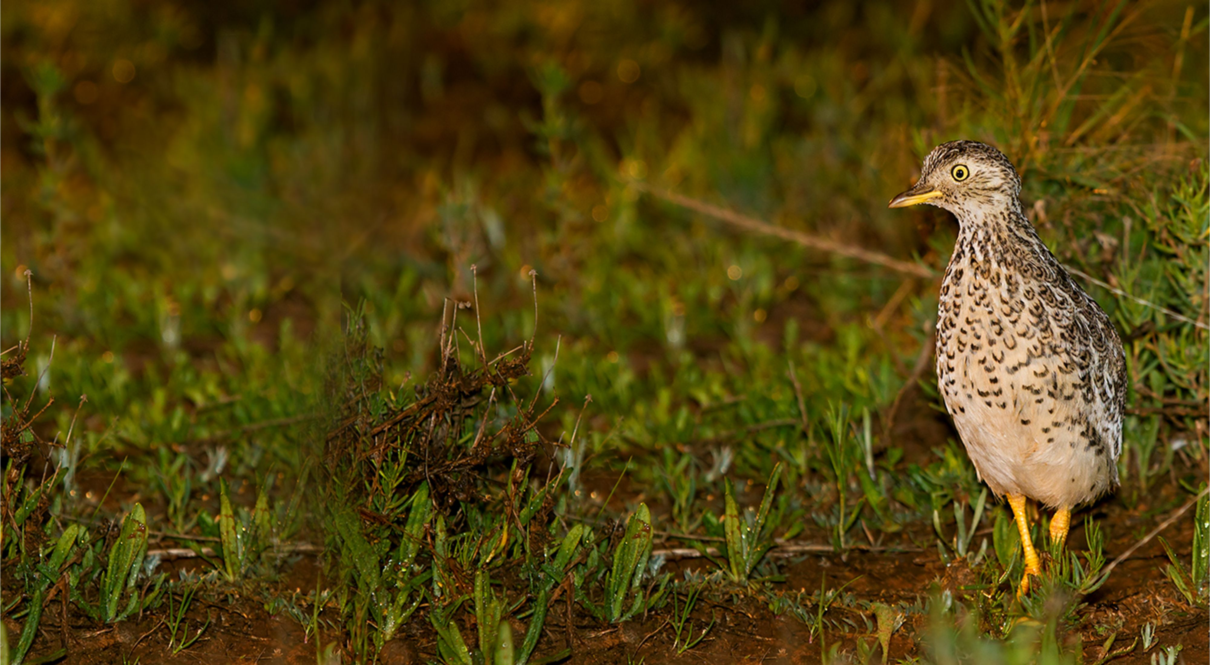 is a critically endangered quail-like bird found in the Riverina region of NSW