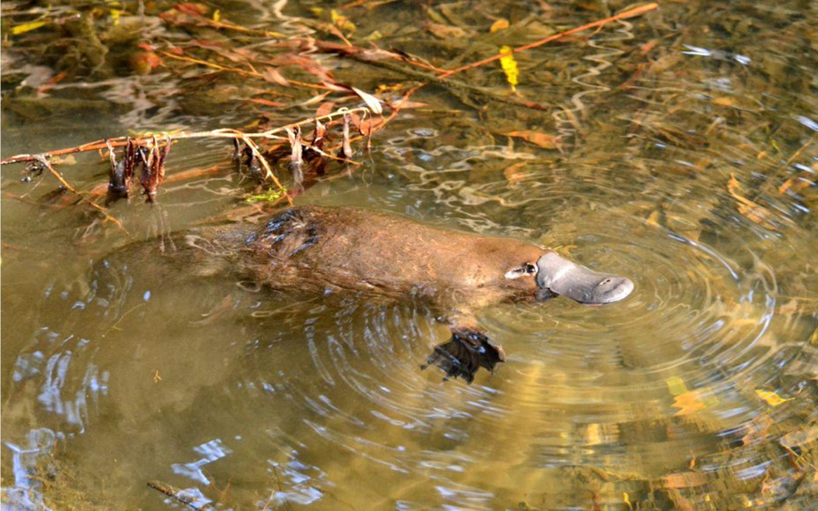 an egg laying aquatic mammal of eastern Australia