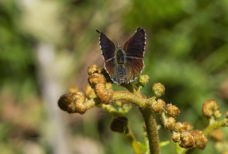 Purple Copper Butterfly