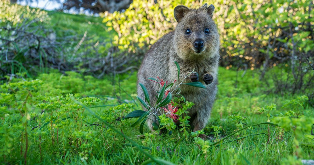 are herbivores that eat a variety of grasses and shrubs