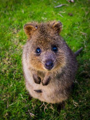 Western Australia's world famous wallaby