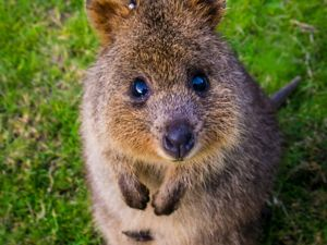 Quokka at Rottnest Island