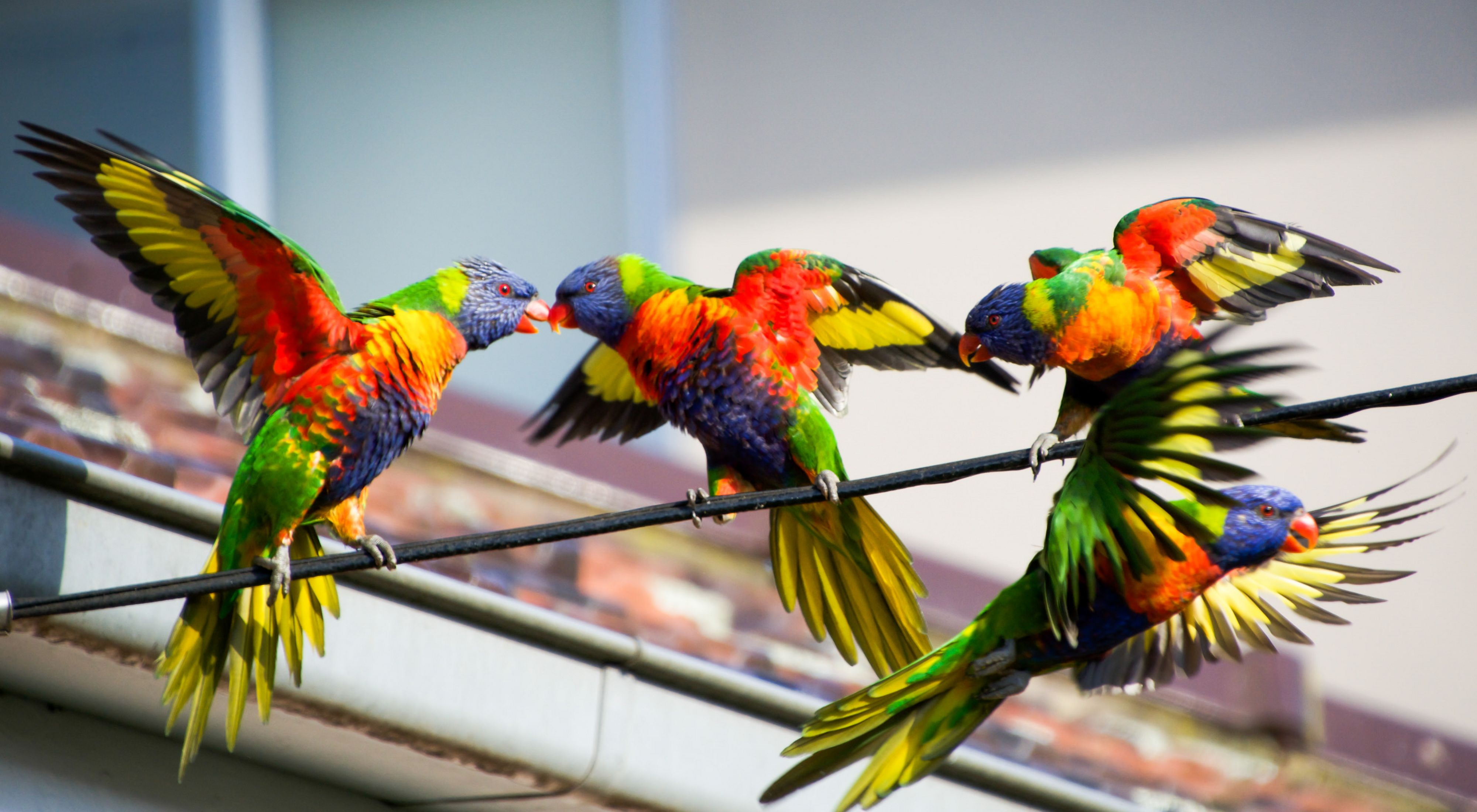 four brightly colored birds on a wire