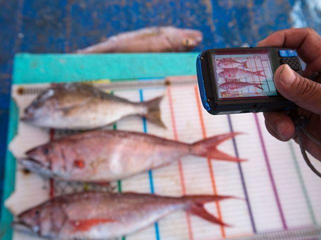 Ikan yang ditangkap oleh nelayan di Tetap Setia, sebuah kapal yang berpartisipasi dalam program FishFace TNC, difoto di papan pengukur di Indonesia