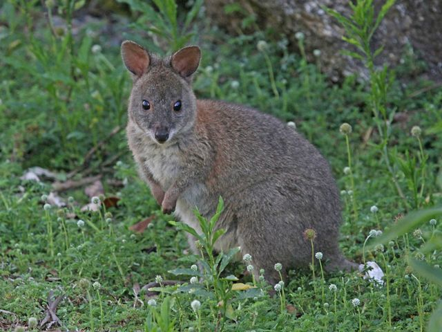 Part of the same family as wallabies and kangaroos, the pademelon is a small marsupial