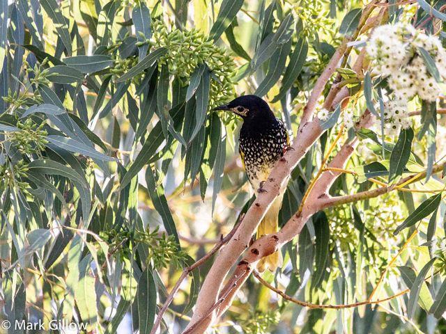 The Regent Honeyeater in a tree