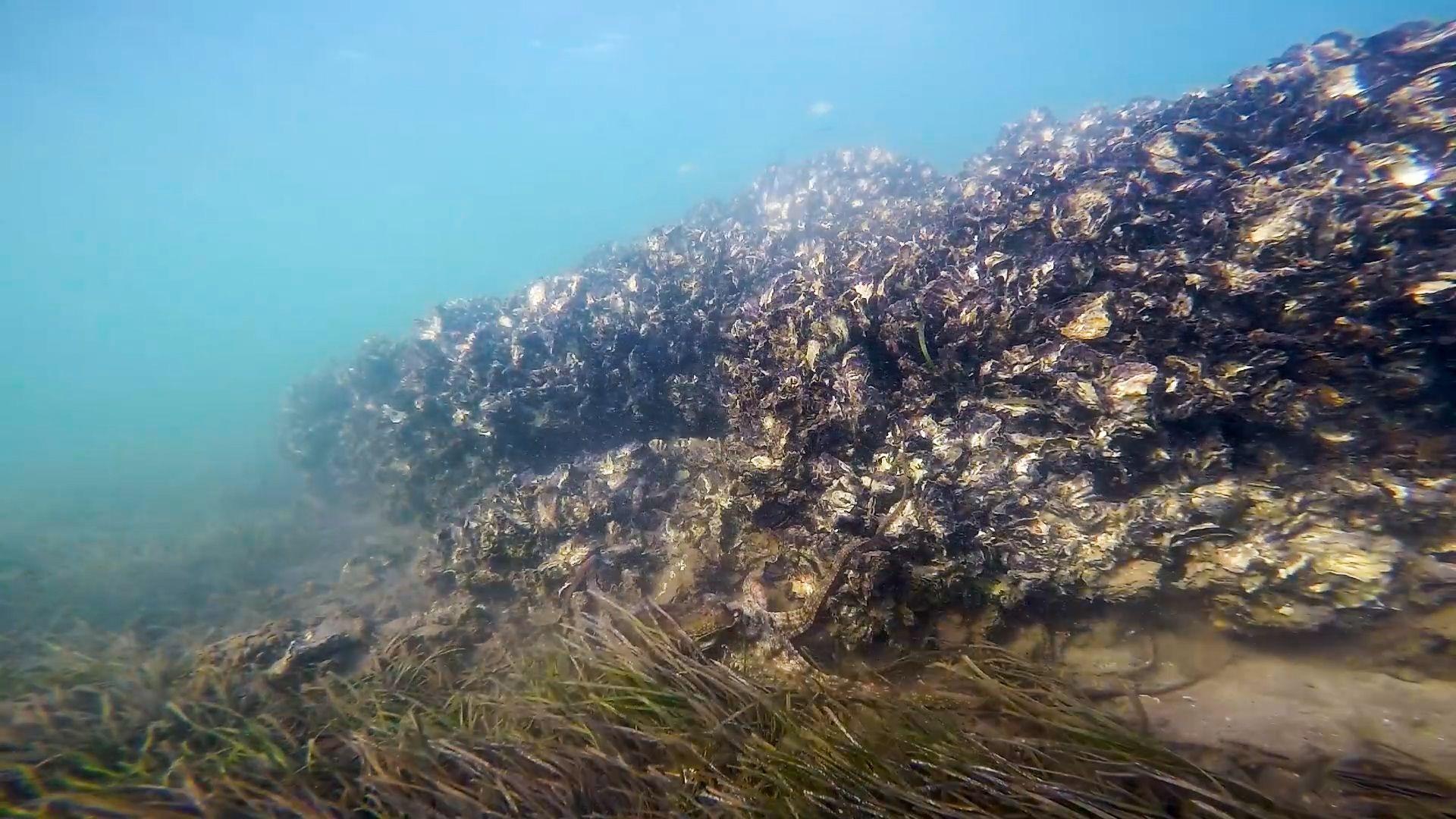 A shellfish reef